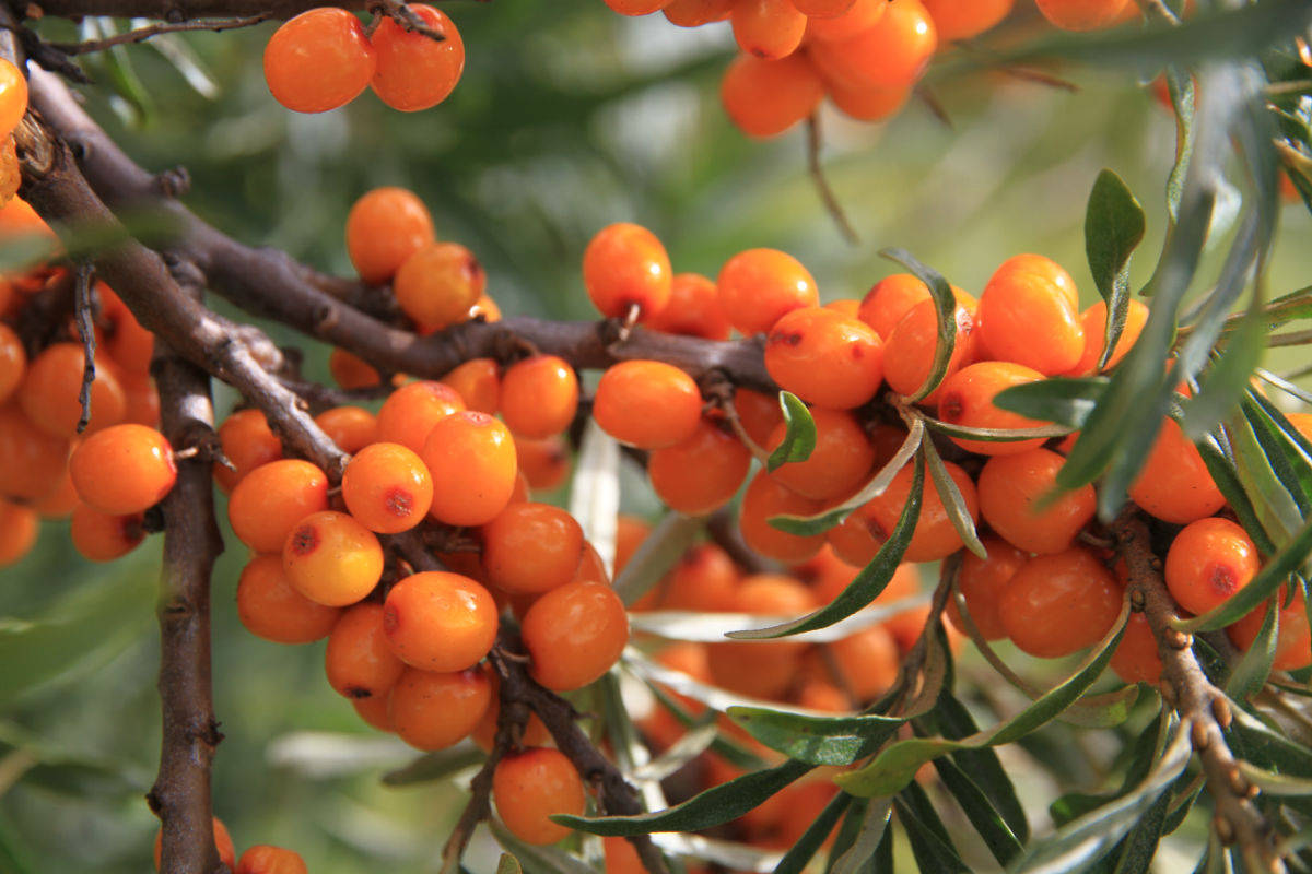 Seabuckthorn extract.png