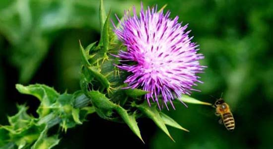 Milk thistle extract.jpg